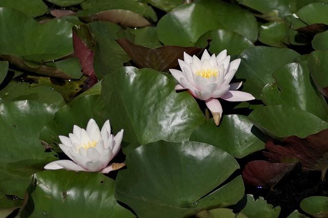 Oczka wodne wyposażenie ryby pokarm filtry rośliny wodne Legionowo Nowy Dwór Mazowiecki ZooNemo (18)