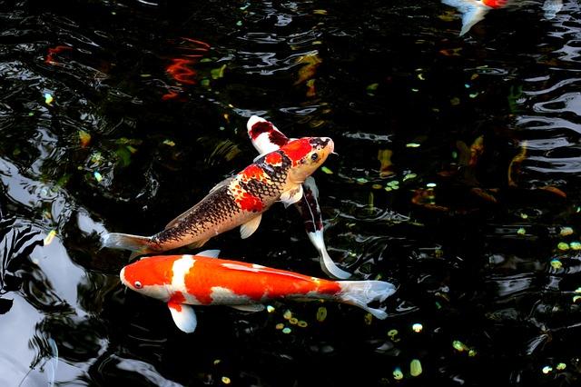 Oczka wodne wyposażenie ryby pokarm filtry rośliny wodne Legionowo Nowy Dwór Mazowiecki ZooNemo (22)