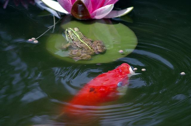 Oczka wodne wyposażenie ryby pokarm filtry rośliny wodne Legionowo Nowy Dwór Mazowiecki ZooNemo (3)