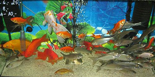 Oczka wodne wyposażenie ryby pokarm filtry rośliny wodne Legionowo Nowy Dwór Mazowiecki ZooNemo (7)