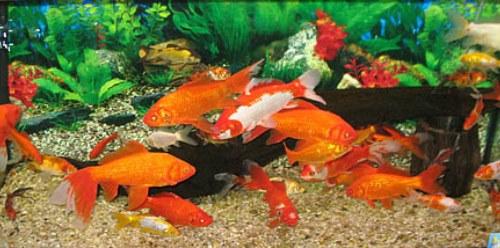 Oczka wodne wyposażenie ryby pokarm filtry rośliny wodne Legionowo Nowy Dwór Mazowiecki ZooNemo (8)
