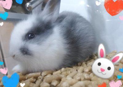 królik miniaturka sklep ZooNemo Legionowo Nowy Dwór Mazowiecki (3)