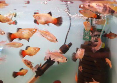 Ryby Akwariowe w sklepach ZooNemo Legionowo Nowy Dwór Mazowiecki (4)