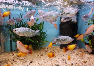 Ryby Akwariowe w sklepach ZooNemo Legionowo Nowy Dwór Mazowiecki (5)