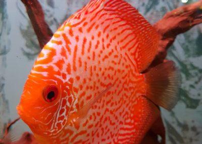 Ryby Akwariowe w sklepach ZooNemo Legionowo Nowy Dwór Mazowiecki (6)