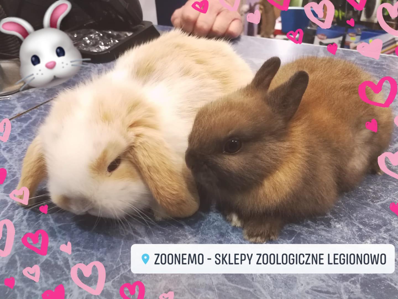 króliki miniaturki sklepy zoologiczne ZooNemo Legionowo Nowy Dwór Mazowiecki