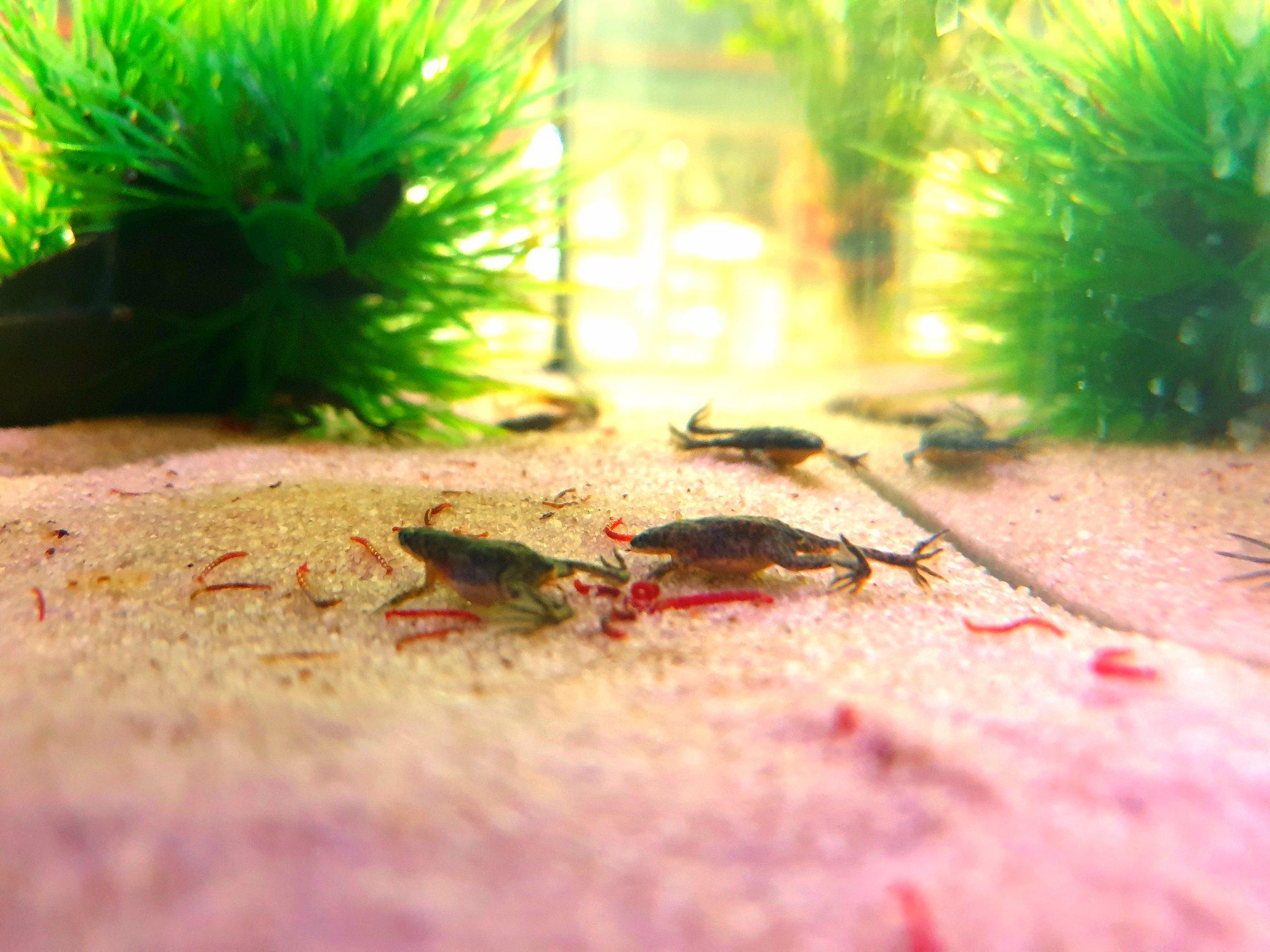 żabka Karlik sklepy zoologiczne ZooNemo Legionowo Nowy Dwór Mazowiecki
