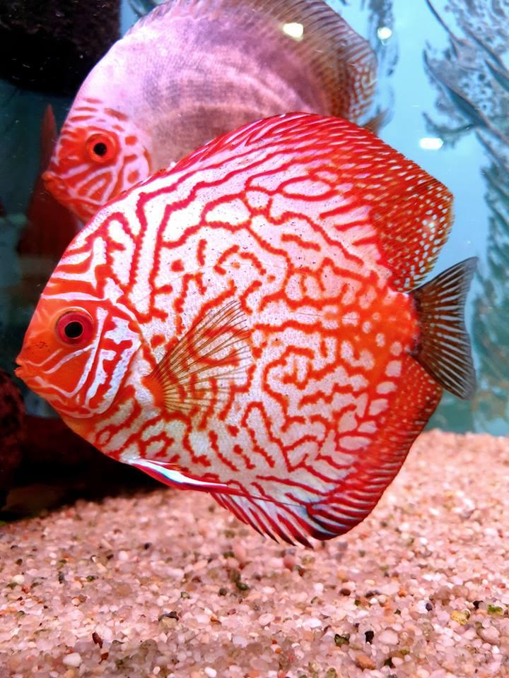 Paletka dyskowiec ryby akwariowe Legionowo Nowy Dwór Mazowiecki