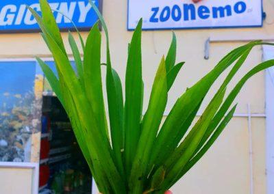 rośliny oczka wodne Osoka Aloesowata sklep ZooNemo Legionowo Nowy Dwór Mazowiecki 2