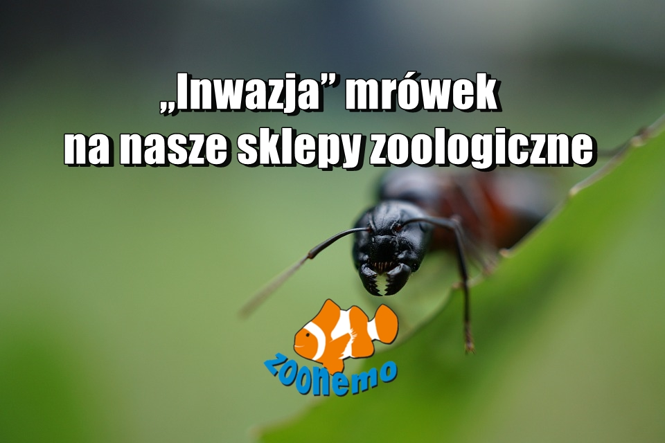 """""""Inwazja"""" mrówek na nasze sklepy zoologiczne"""