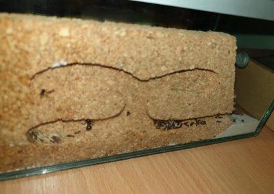 formikarium mrówki Messor barbarus Legionowo Nowy Dwór Mazowiecki ZooNemo 2