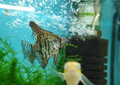 ryby akwariowe Legionowo Nowy Dwór Mazowiecki sklepy zoologiczne ZooNemo (3)