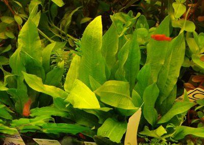 rośliny akwariowe Legionowo Nowy Dwór Mazowiecki ZooNemo (5)