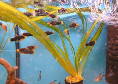 ryby akwariowe Legionowo Nowy Dwór Mazowiecki ZooNemo (3)