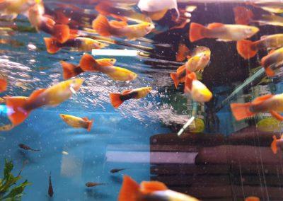 ryby akwariowe Legionowo Nowy Dwór Mazowiecki ZooNemo (5)
