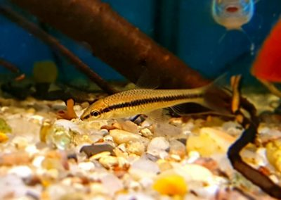 Grubowarg syjamski, Kosiarka (łac. Crossocheilus oblongus) to mistrz w poskramianiu glonów nitkowatych 😀