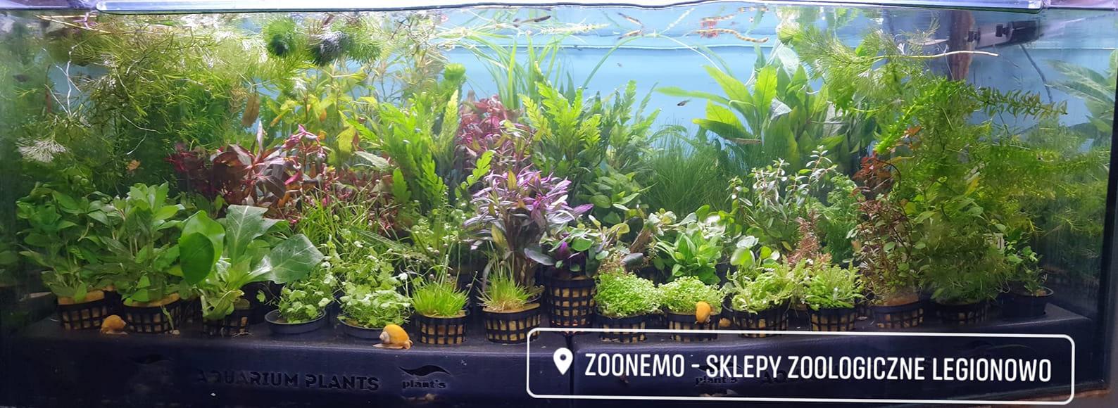 rośliny akwarium Legionowo Nowy Dwór Mazowiecki ZooNemo