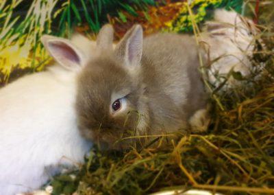 zwierzęta królik miniaturka Legionowo ZooNemo 2