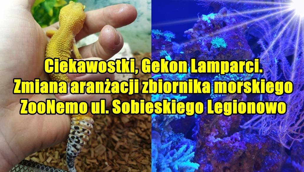 Ciekawostki, Gekon Lamparci. Zmiana aranżacji zbiornika morskiego ZooNemo ul. Sobieskiego Legionowo