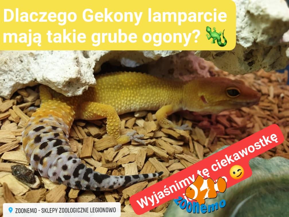 Gekon lamparci Legionowo Nowy Dwór Mazowiecki ZooNemo 2