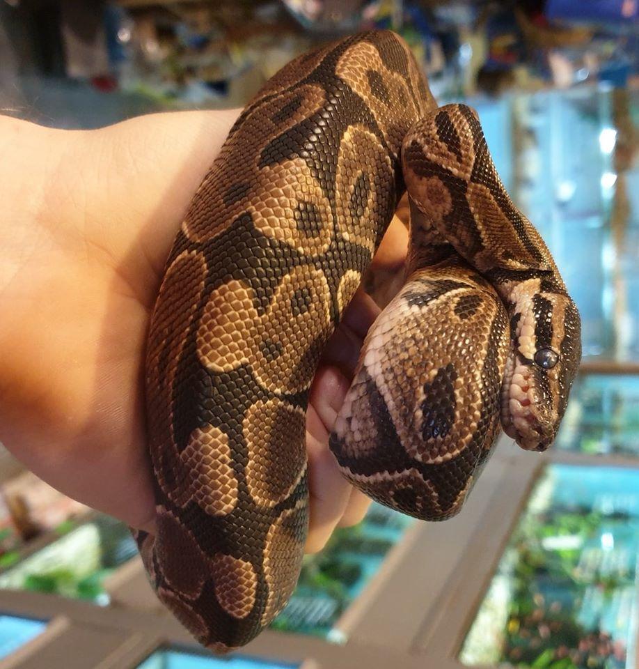 WYLINKA węża ZooNemo
