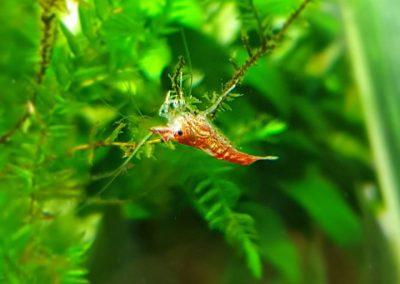 krewetki akwarium Legionowo Nowy Dwór Mazowiecki ZooNemo 1