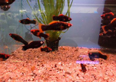 ryby akwariowe Legionowo Sobieskiego ZooNemo 2