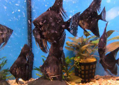ryby akwariowe Legionowo Sobieskiego ZooNemo 7