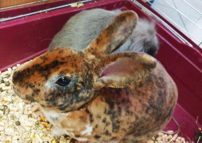 dwa króliczki do oddania ZooNemo Legionowo Nowy Dwór Mazowiecki 2