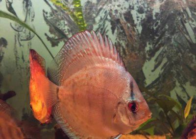ryby akwariowe Legionowo Nowy Dwór Mazowiecki akwarystyka sklep sobieskiego